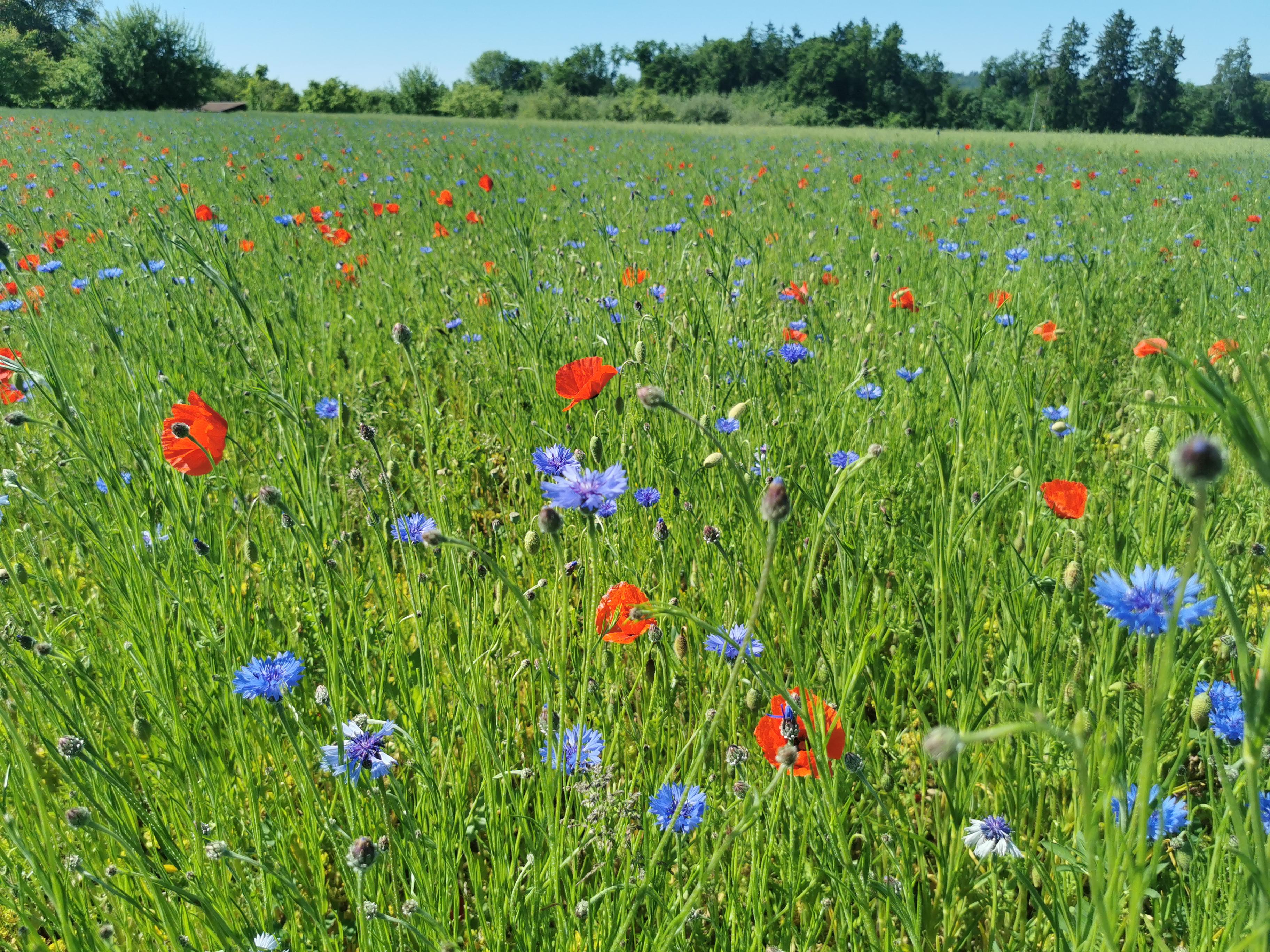 BFF Blühstreifen für Nützlinge und Bestäuber