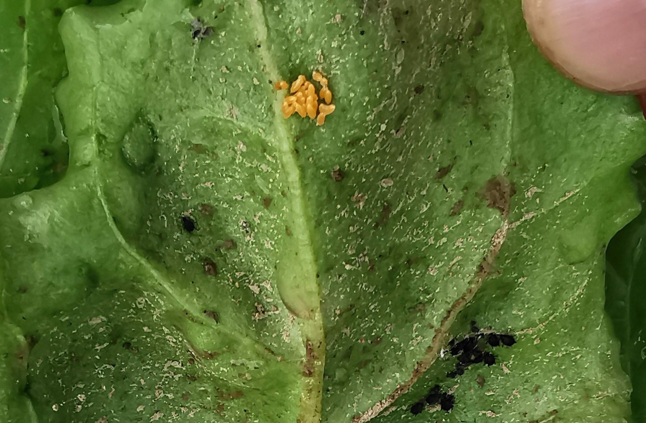 Marienkäfereier mit schwarzen Läusen