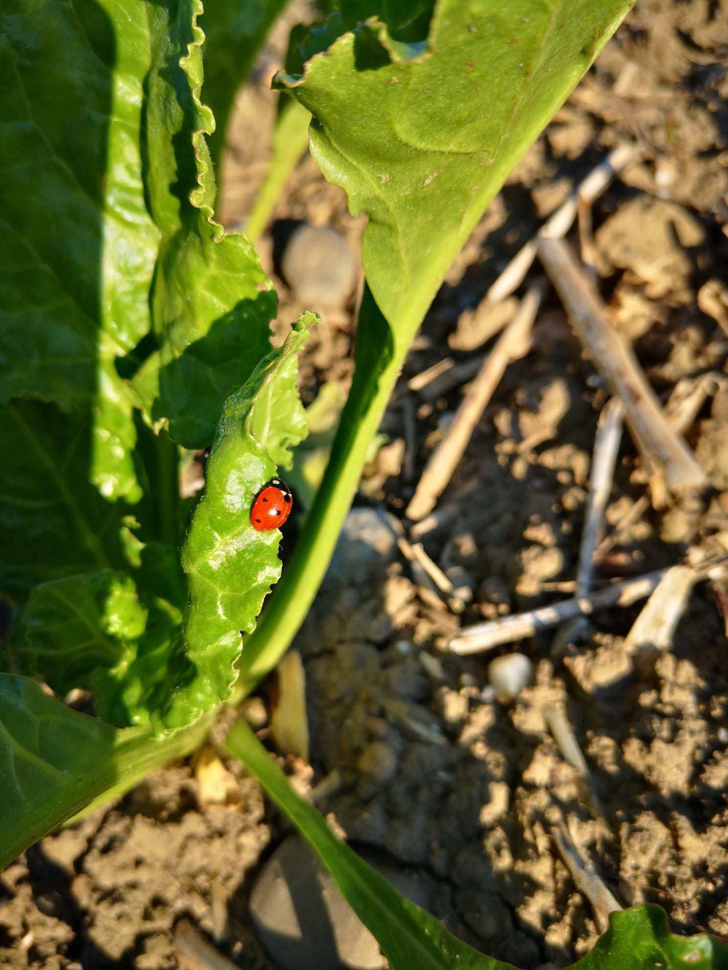Marienkäfer in Zuckerrüben