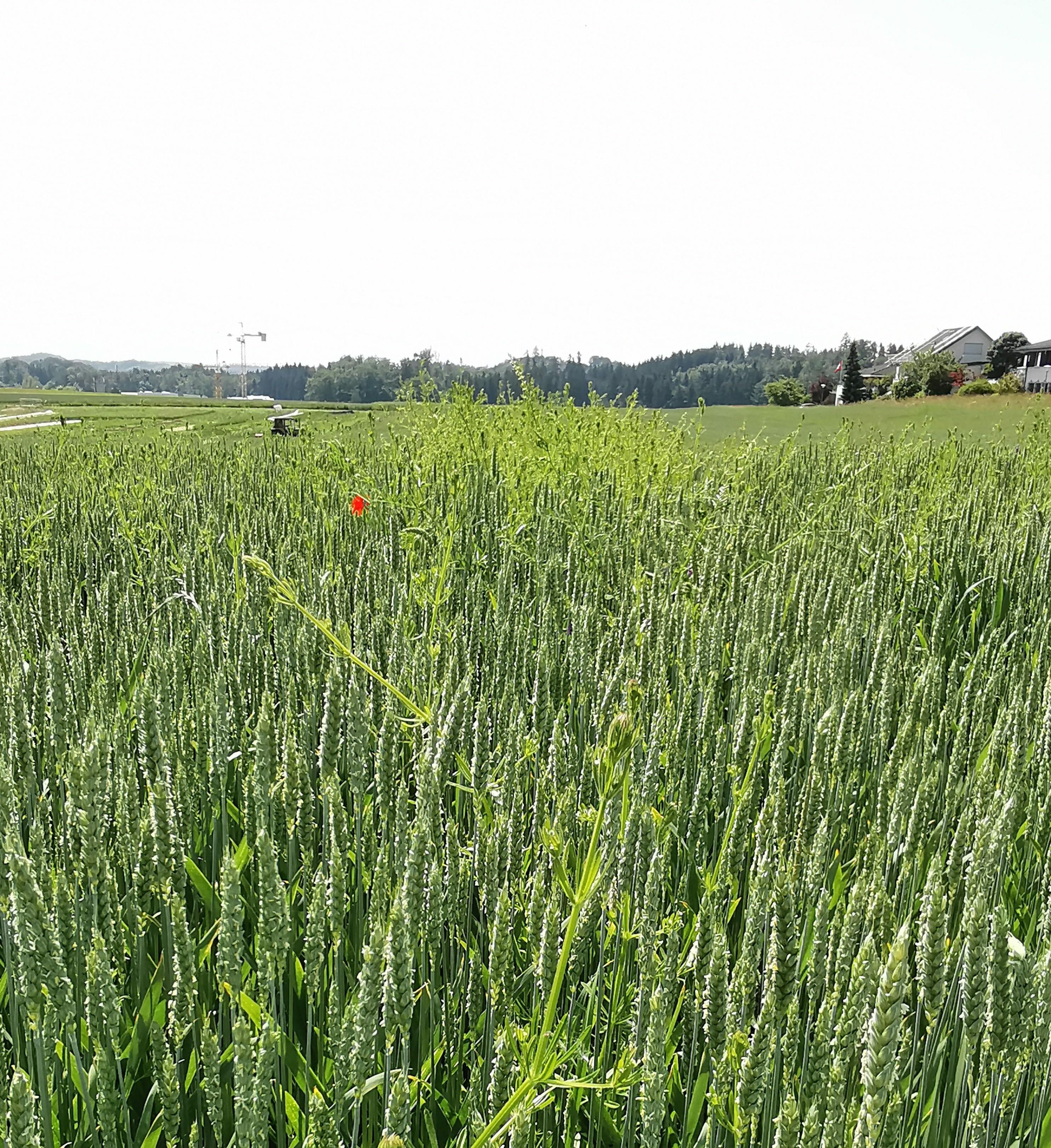 Klebern in Weizen