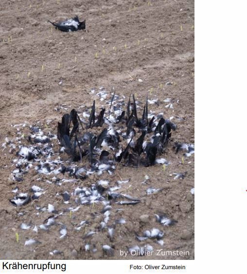 Federkreis (Rupfung) vergrämt Krähen