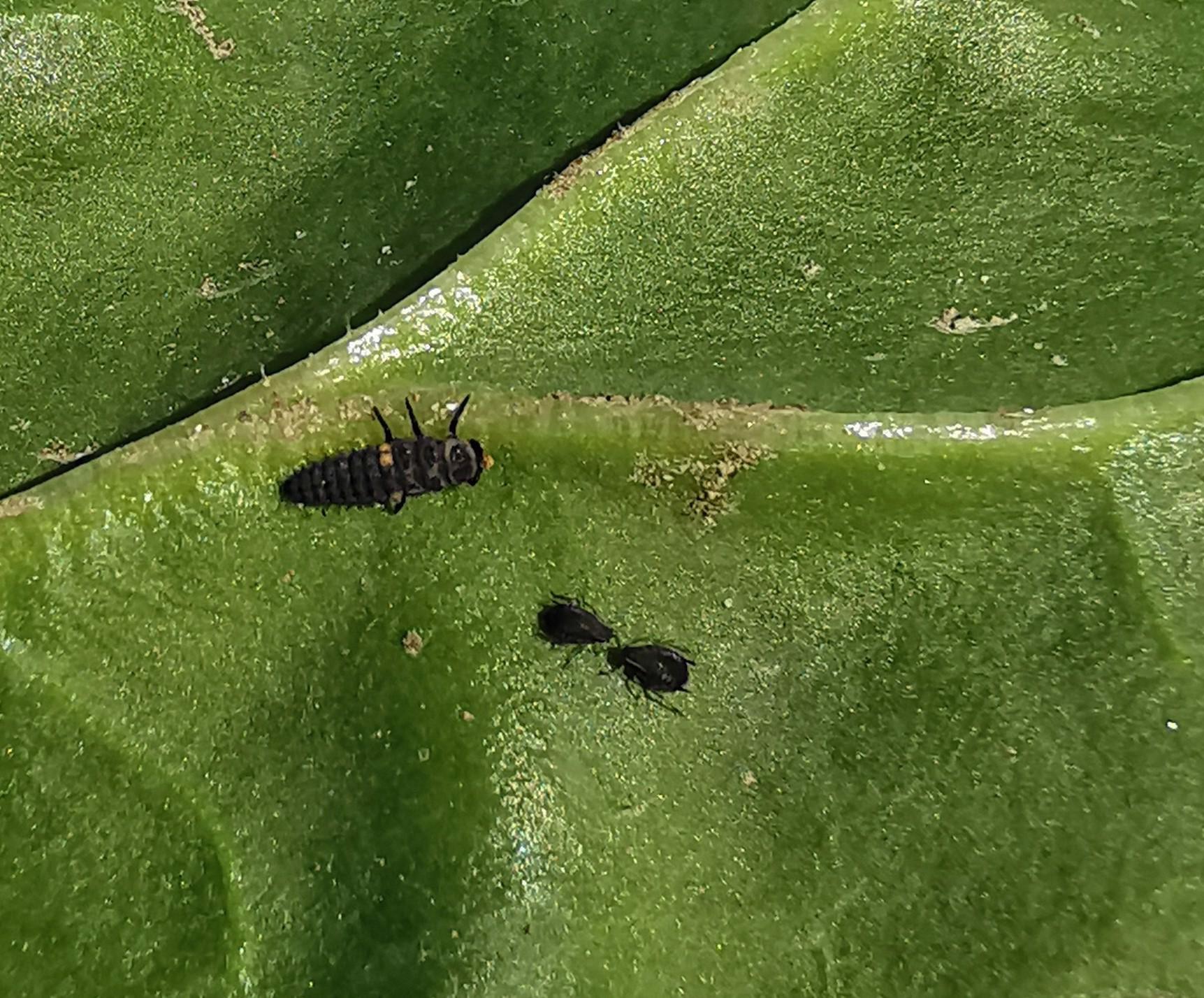 Marienkäferlarve und schwarze Rübenblattläuse