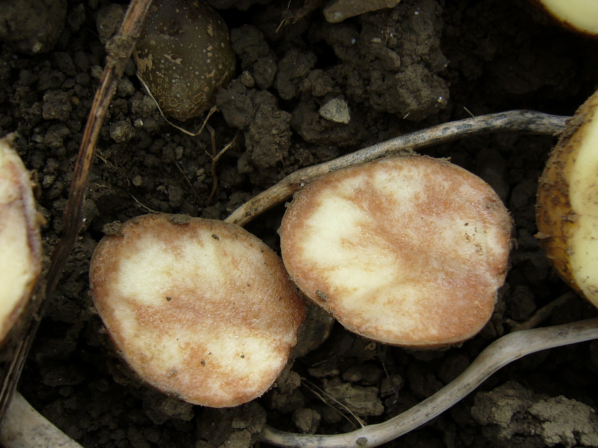 Kartoffeln Knollen-Braunfäule