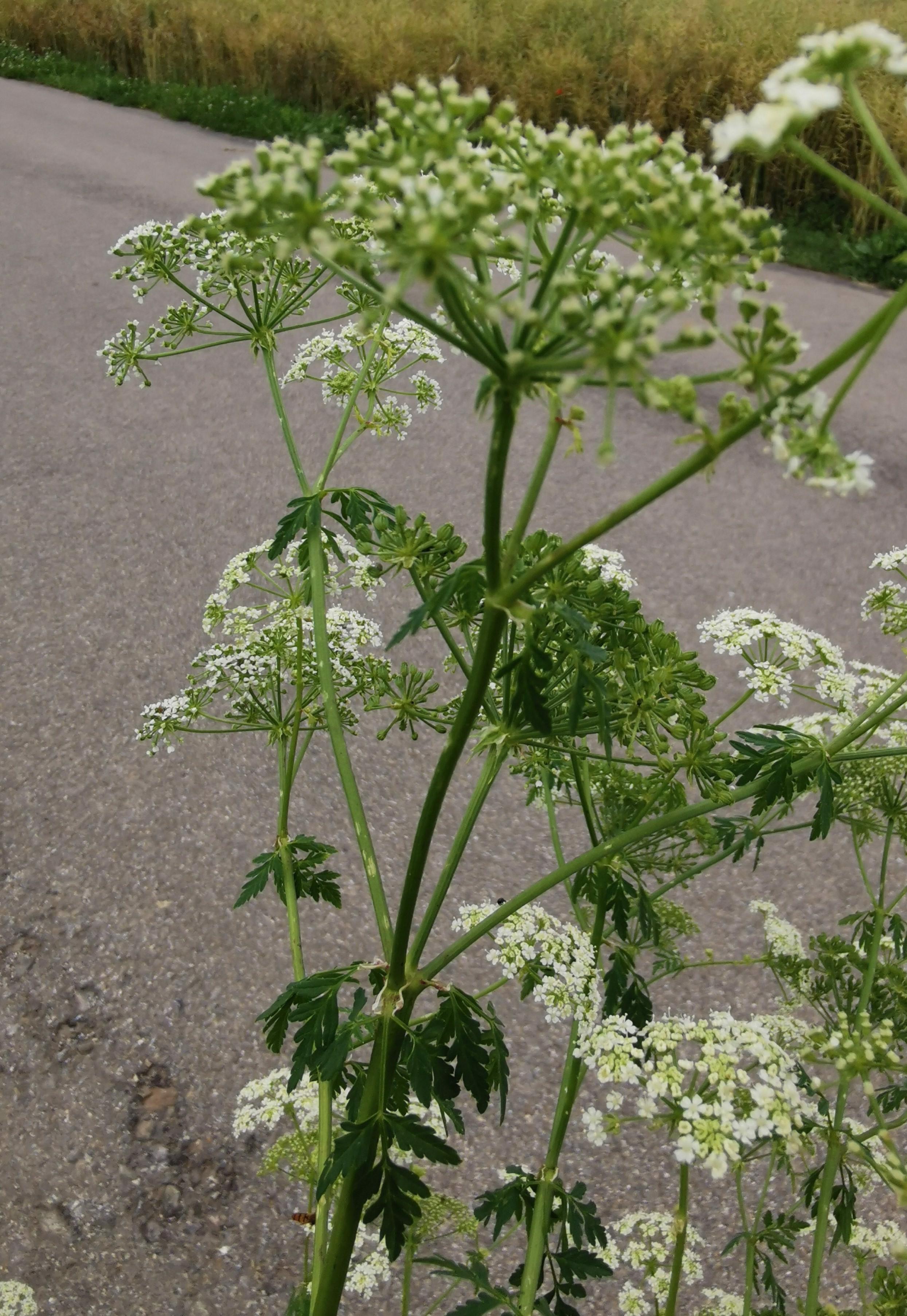 Schierling Blüten und obere Blätter