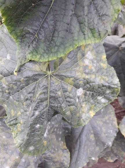 Falscher Mehltau an Salatgurken (2021)