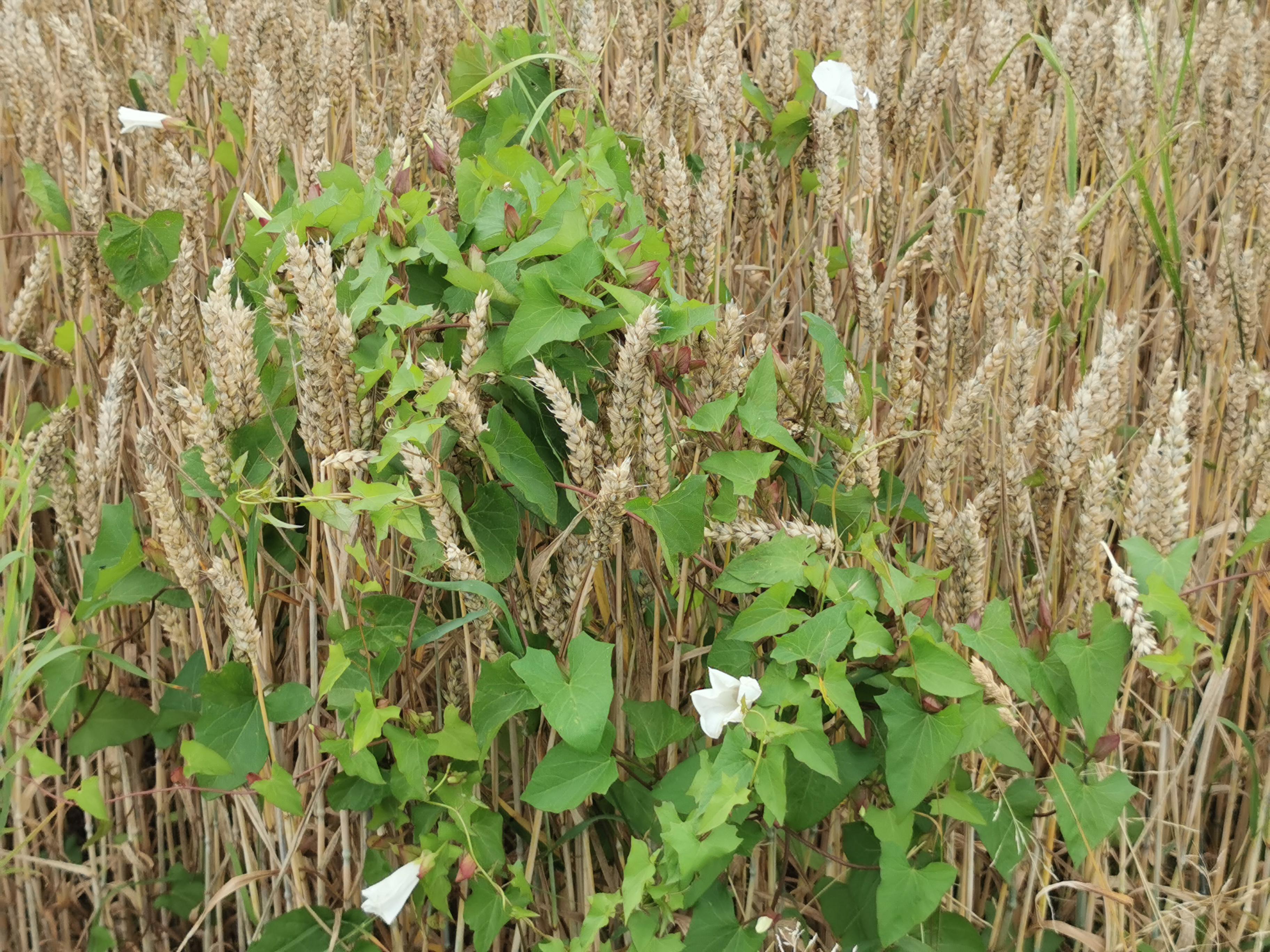 Ackerwinden im Weizenfeld