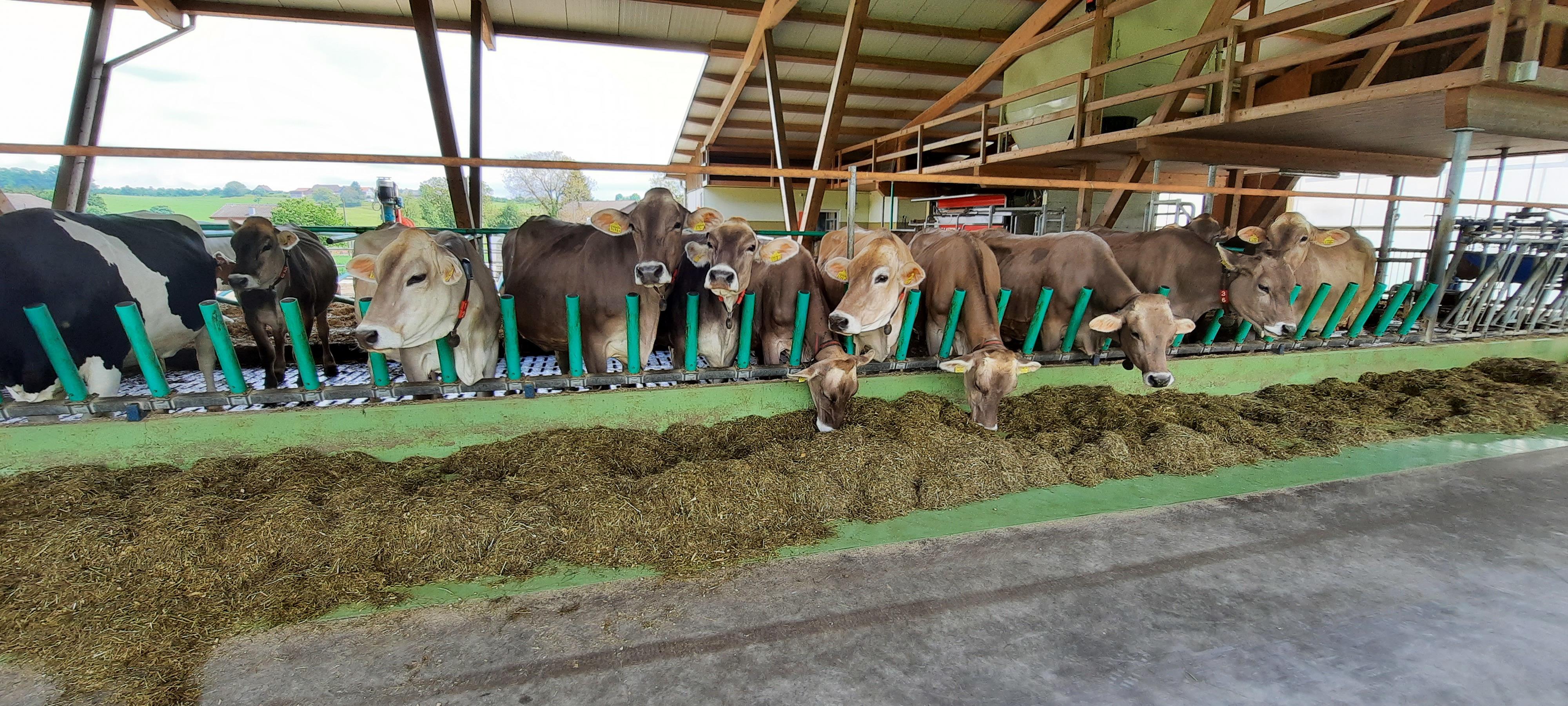 Kühe an Fressachse