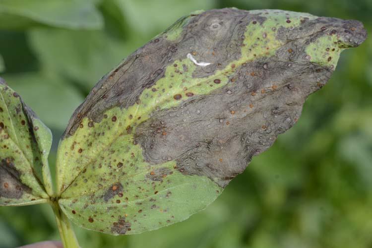 Ackerbohnen mit Schokolade-/Braunflecken-Krankheit