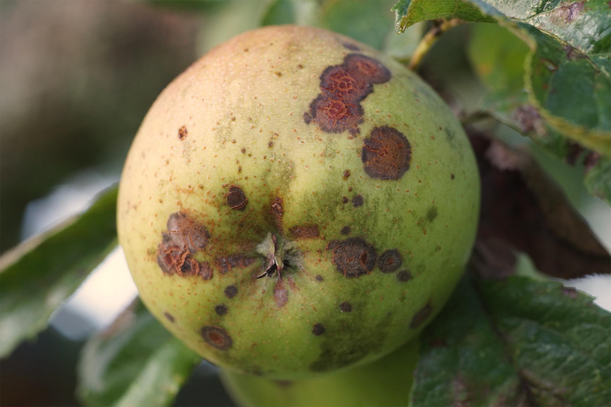 Starker Fruchtschorfbefall auf Apfel