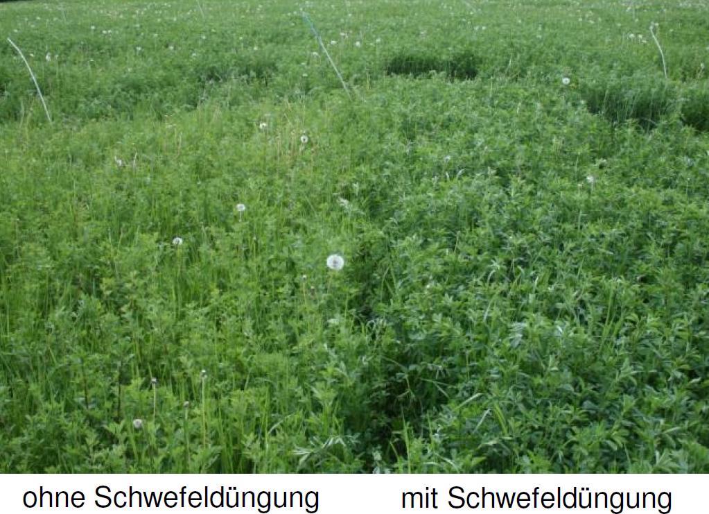 Luzerne ohne und mit Schwefel-Düngung