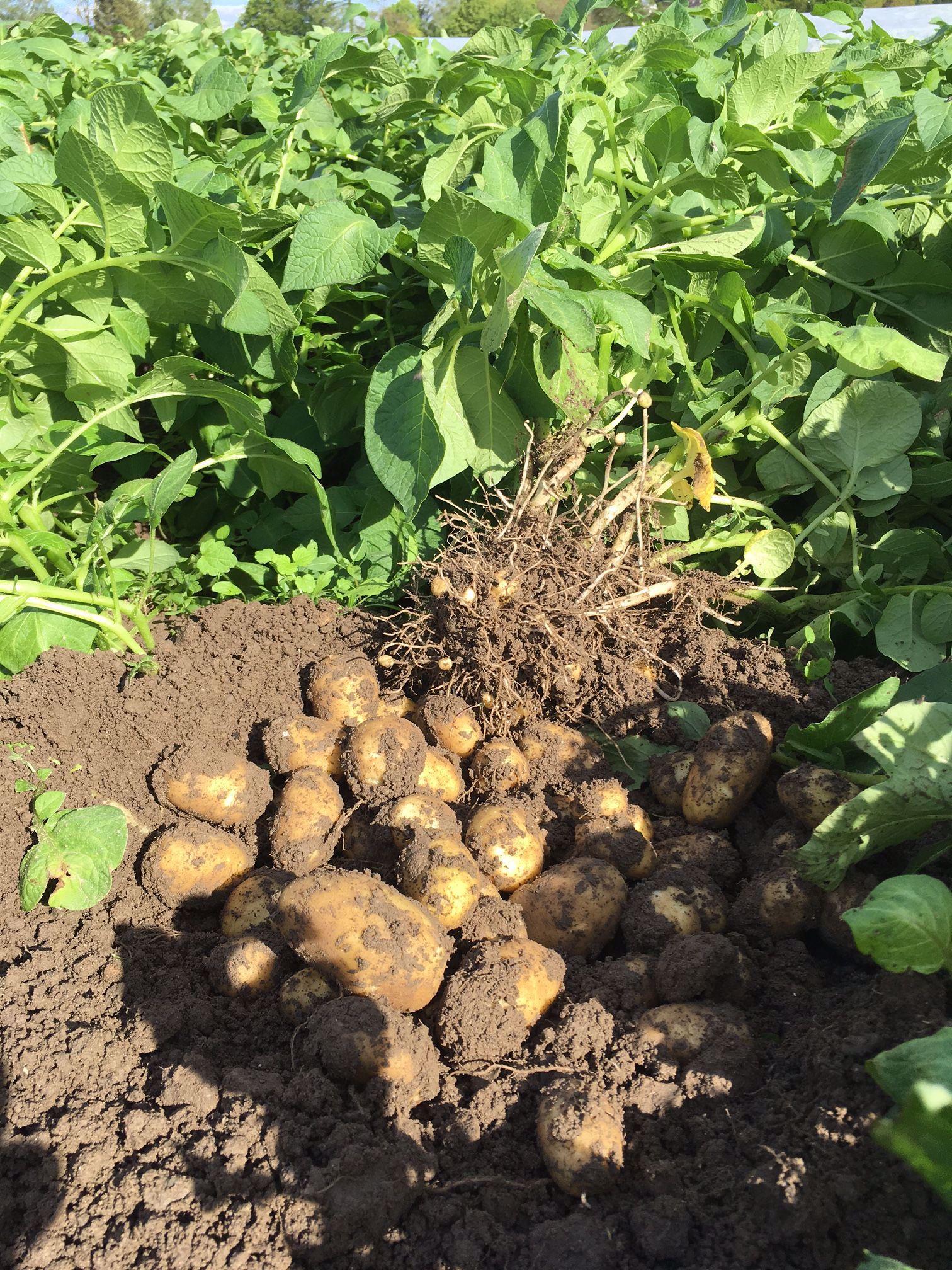 Biokartoffeln Probegrabung