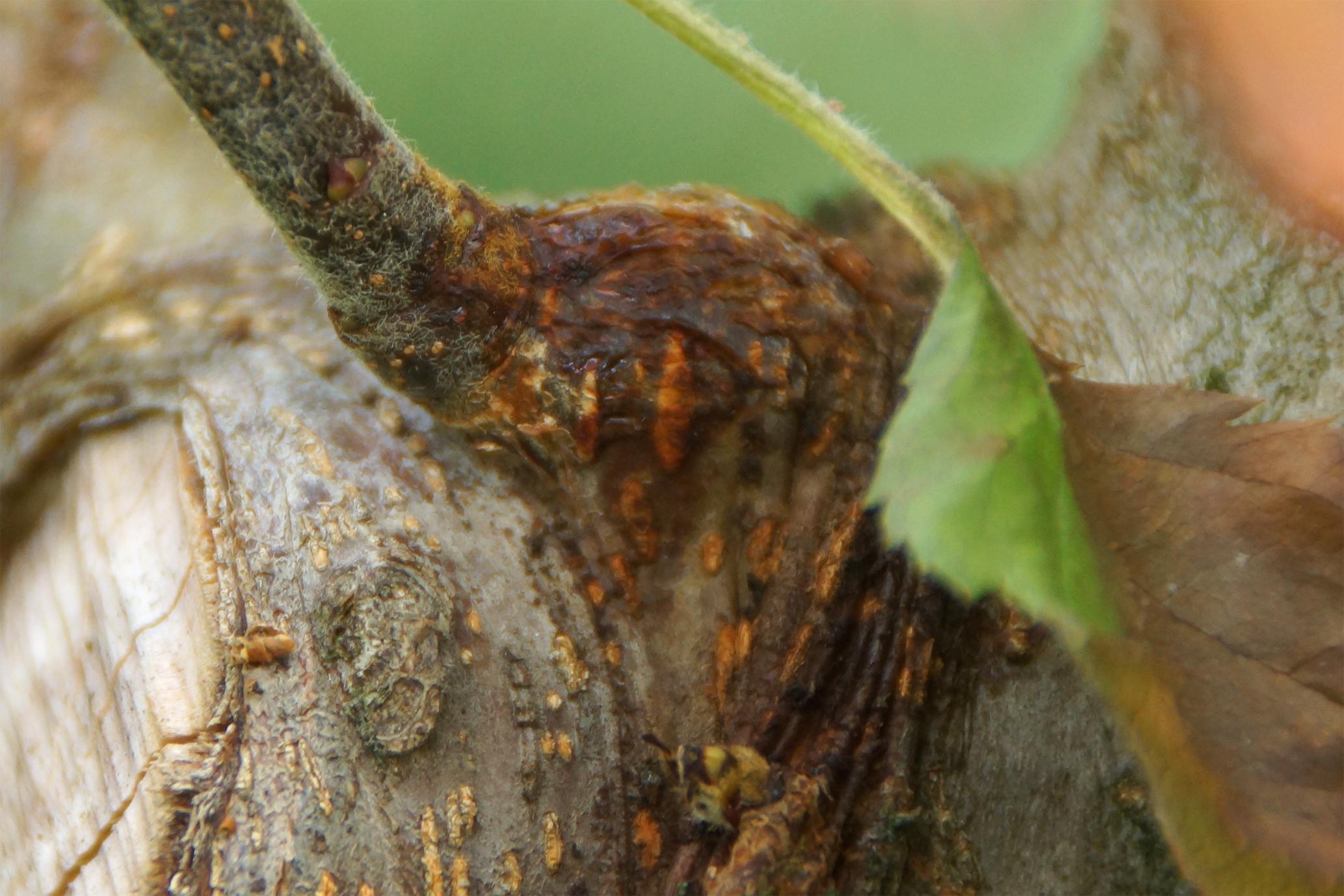 Aktiver Feuerbrand-Canker an einem Apfelbaum