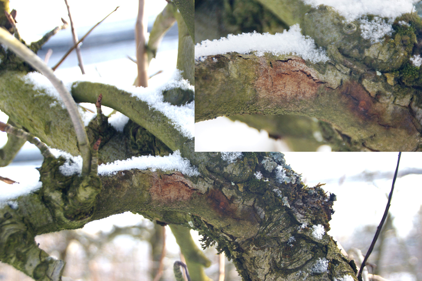 Feuerbrand-Canker an Birnbaum im Winter