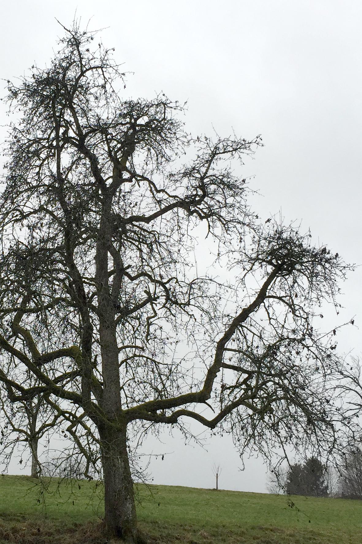 Mostbirnbaum mit Feuerbrand-Altbefall