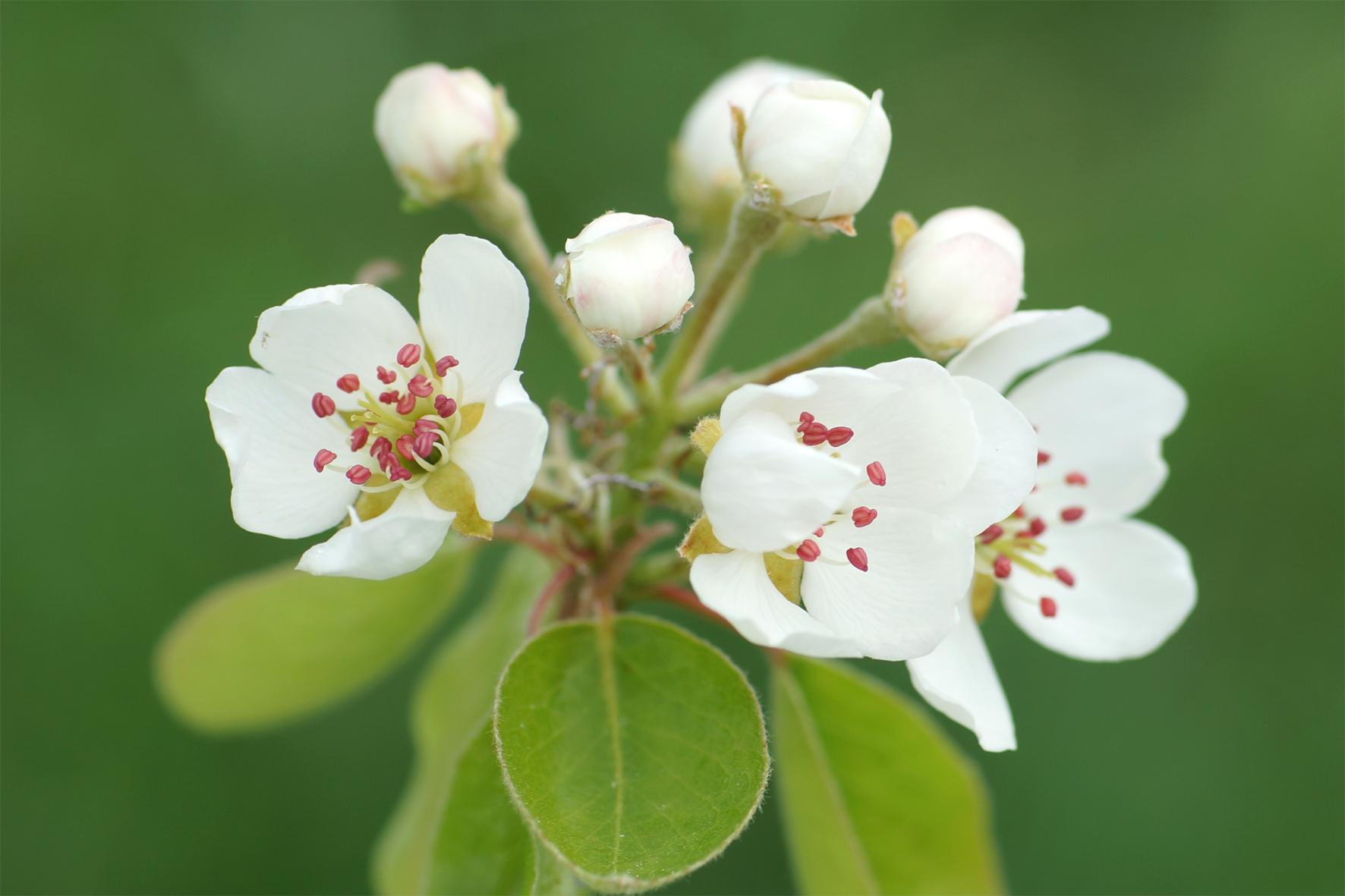Birnenblüte Morettini