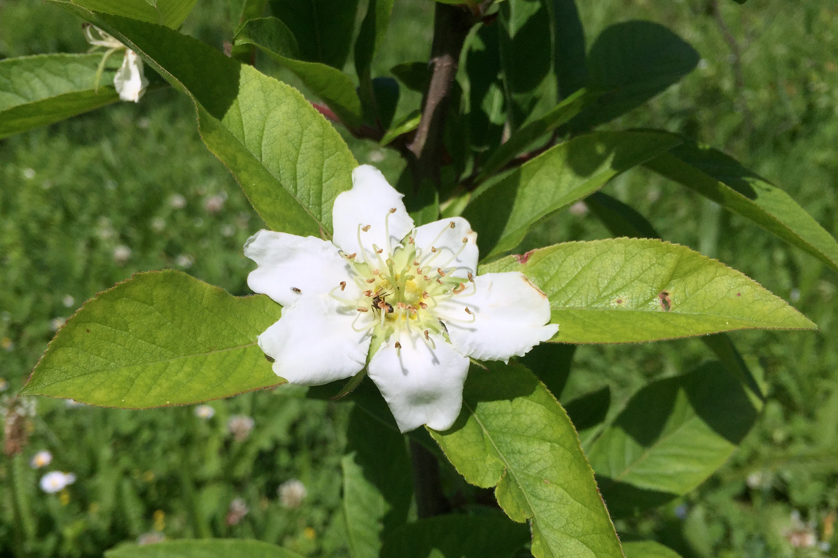 Mispel Blüte