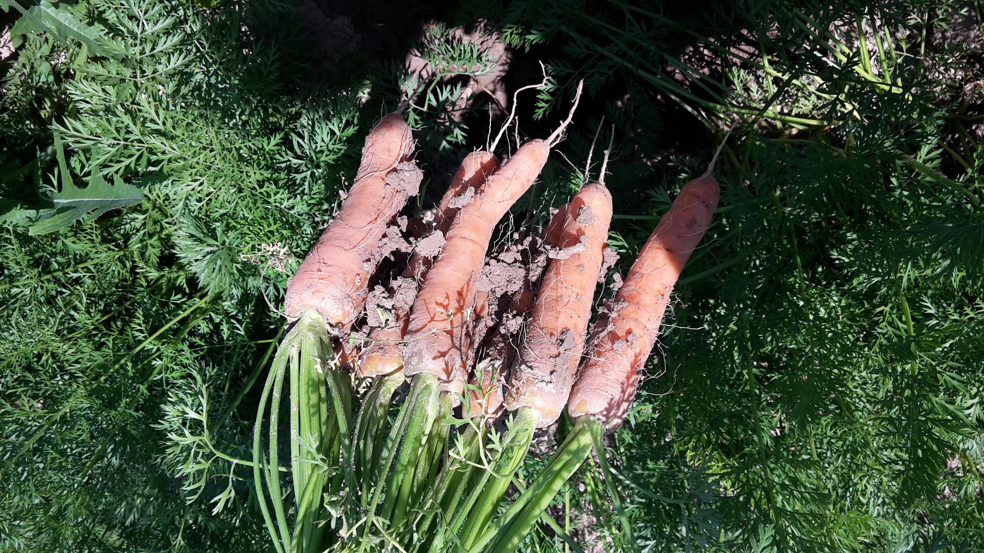 Wie die Karotten aus dem Boden zu kriegen sind, war heuer die Frage. Ein Bild aus «trockeneren» Sommertagen.