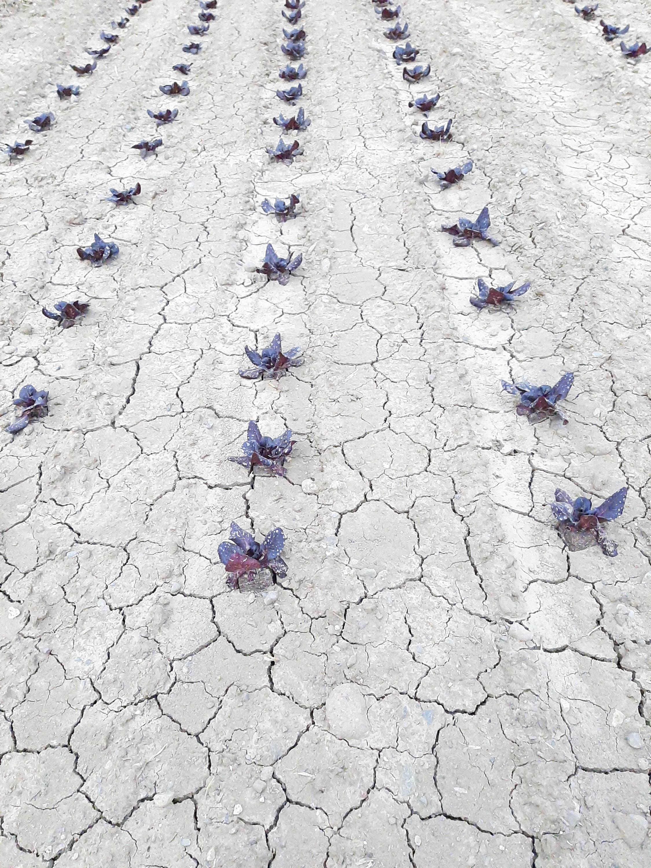 Oberflächliche (links) und tiefer gehende Trockenrisse (rechts) wie sie typischerweise durch den raschen Wechsel von feuchten zu trockenen Verhältnissen auf tonhaltigen Böden entstehen, sind im Frühling 2020 auf vielen Gemüseparzellen anzutreffen