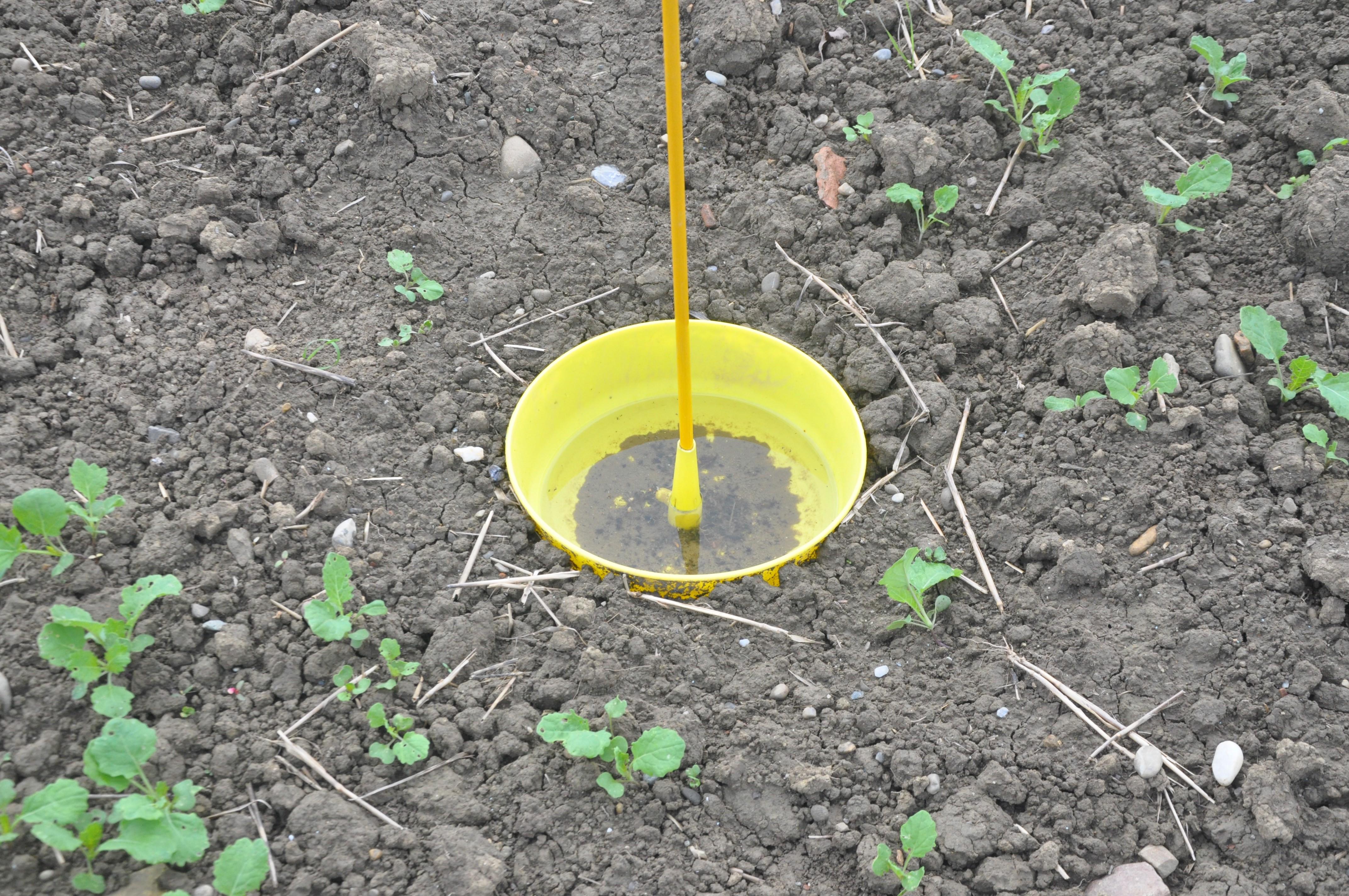 Mit Hilfe dieser Gelbfallen kann die Rapserdflohpopulation überwacht werden. Dabei muss darauf geachtet werden, dass die Falle schön im Boden vergraben wird.