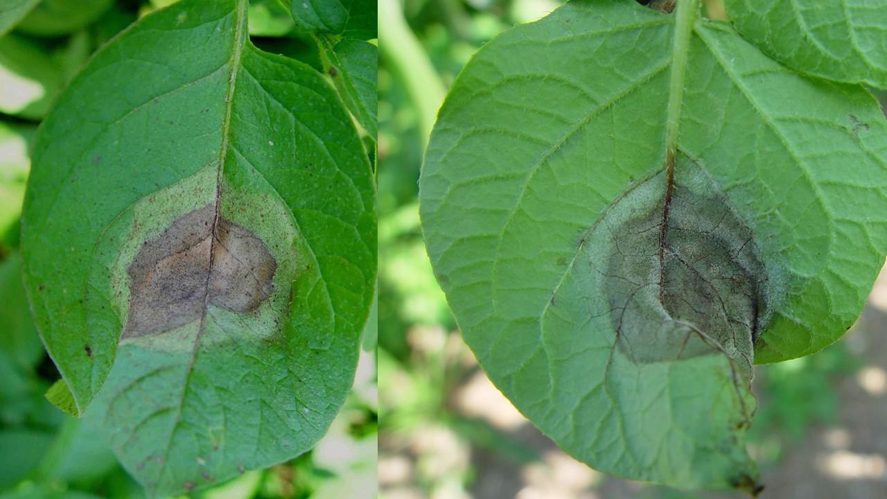Krautfäulesymptome auf der Blattoberseite (links) und Blattunterseite (rechts). Auf der Oberseite entsteht ein typischer Ölfleck mit dunklem Zentrum und heller Umrandung. Auf der Unterseite bildet sich ein weisser Schimmelrasen.