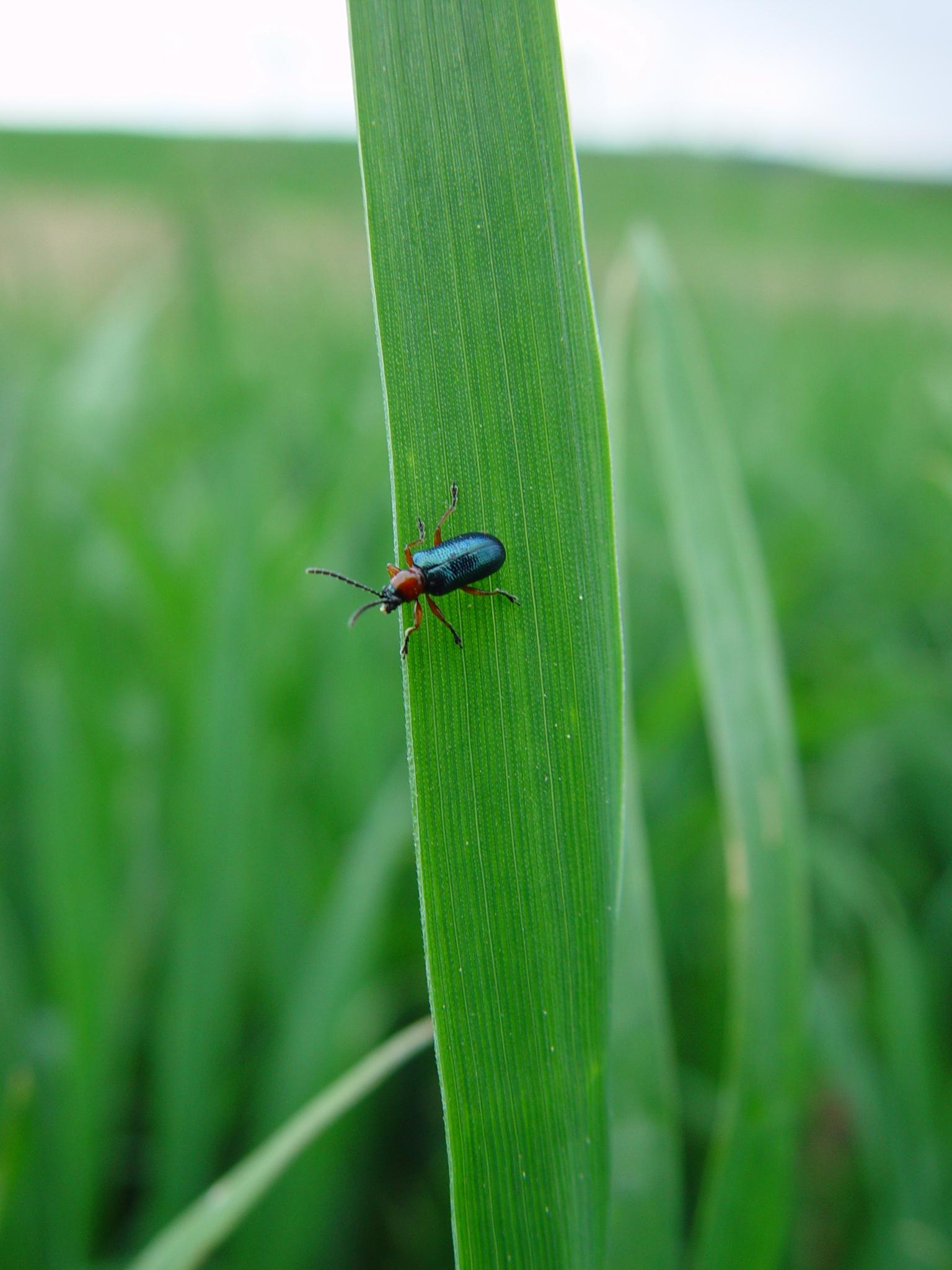 Erwachsener Käfer des Getreidehähnchens. Obwohl auch sie an den Blättern knabbern können, entsteht der Schaden durch die Larven.