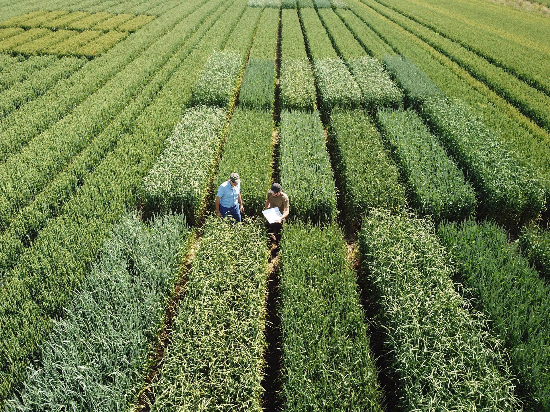 Getreidedünge- und Sortenversuche am Strickhof