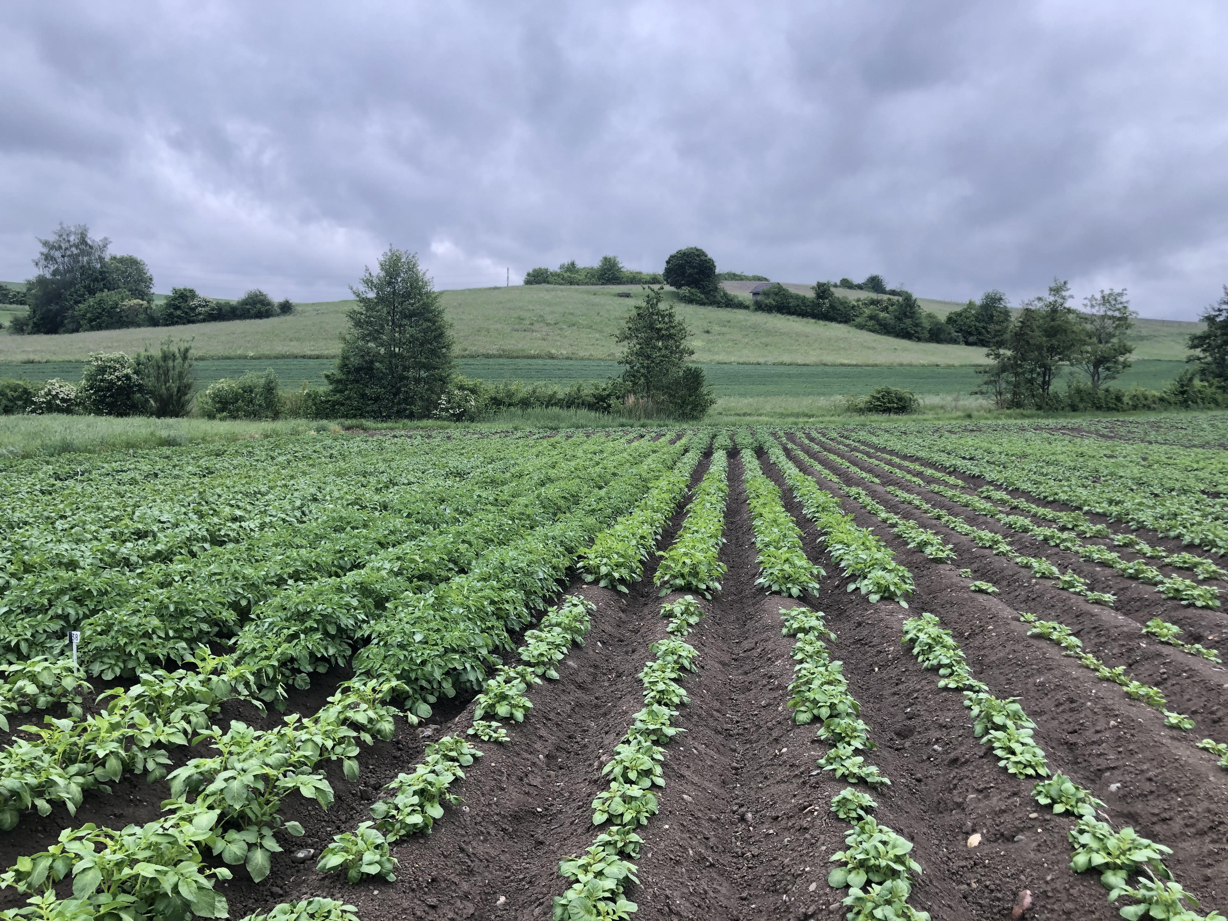 Kleinparzellen unterschiedlicher Kartoffelsorten Humlikon 2020