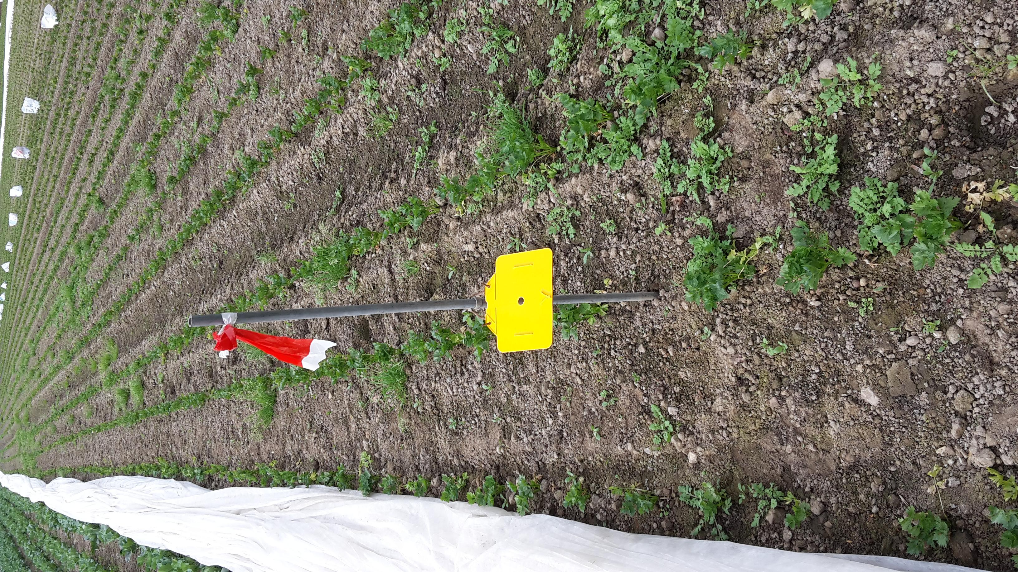 Möhrenfliegenüberwachung im Feld bei Sellerie