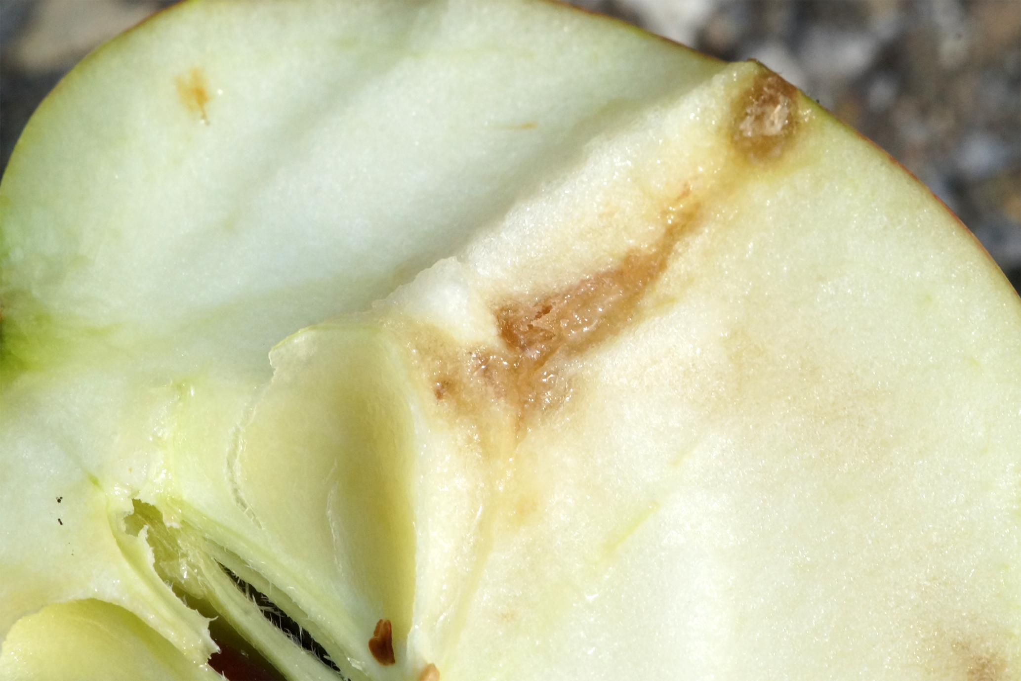 Fruchtfleischverfärbung um den Gang einer Larve der Mittelmeerfruchtfliege in Apfel
