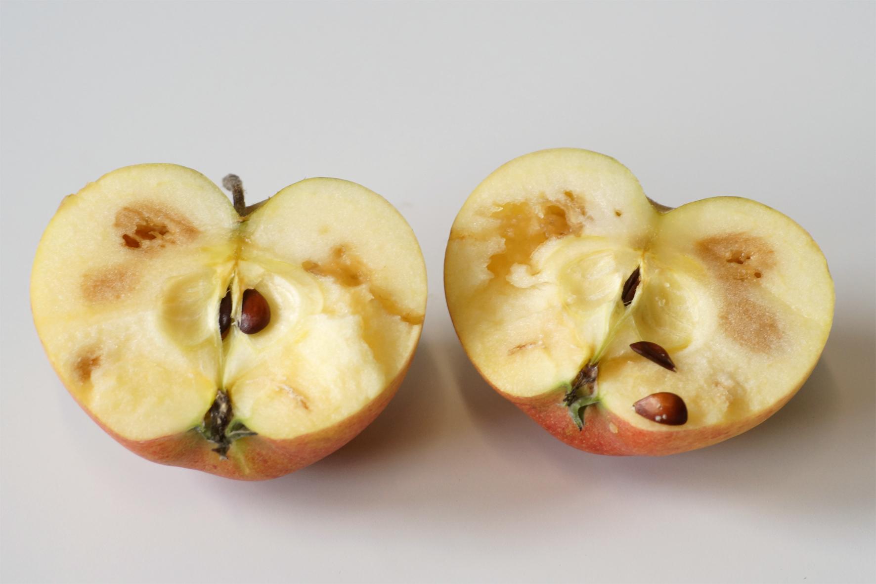 Gangsysteme der Mittelmeerfruchtfliege bei einem befallenen Apfel