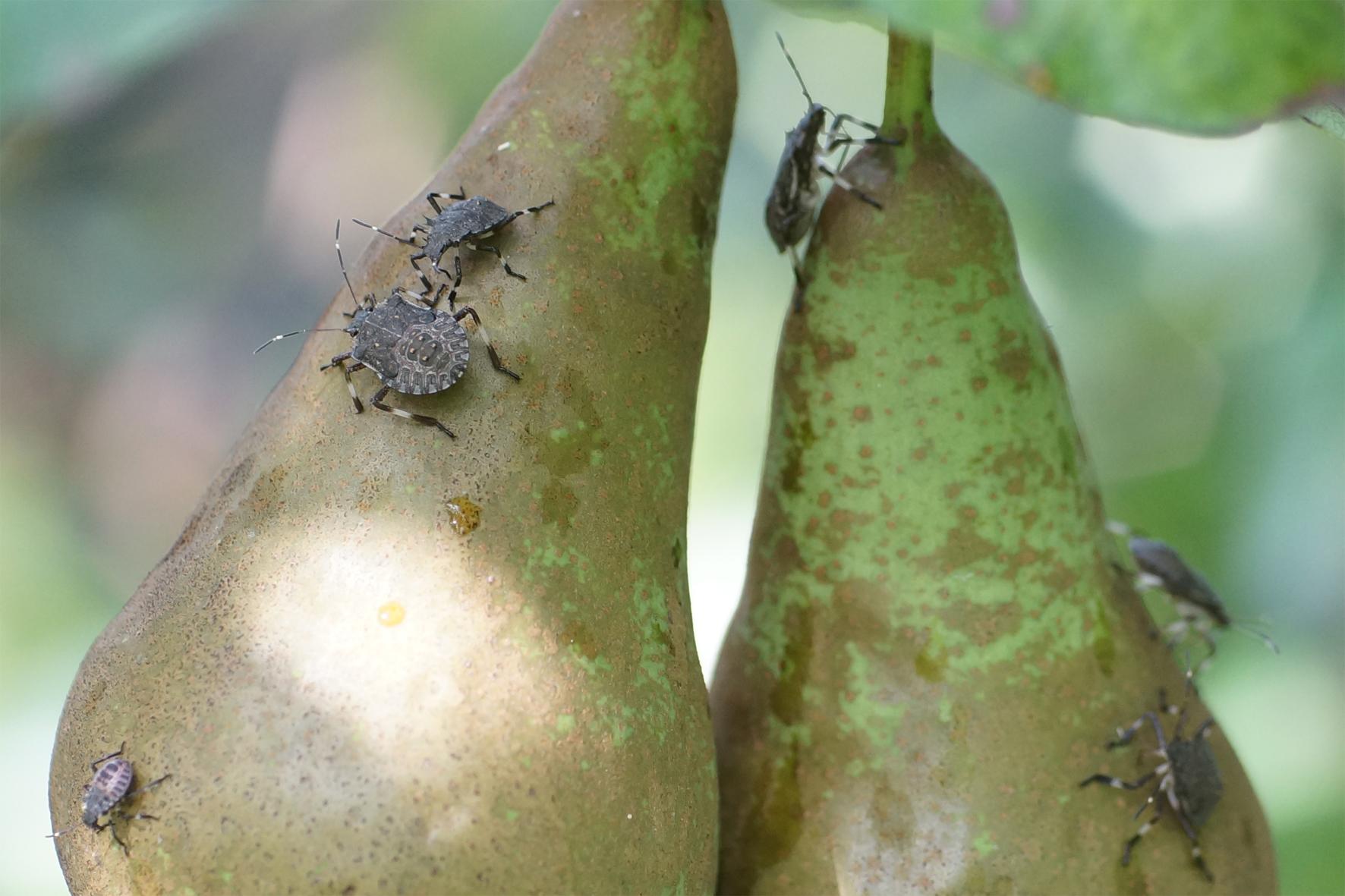 Viele Marmorierte Baumwanzen (Halyomorpha halys) auf Conference-Birnen