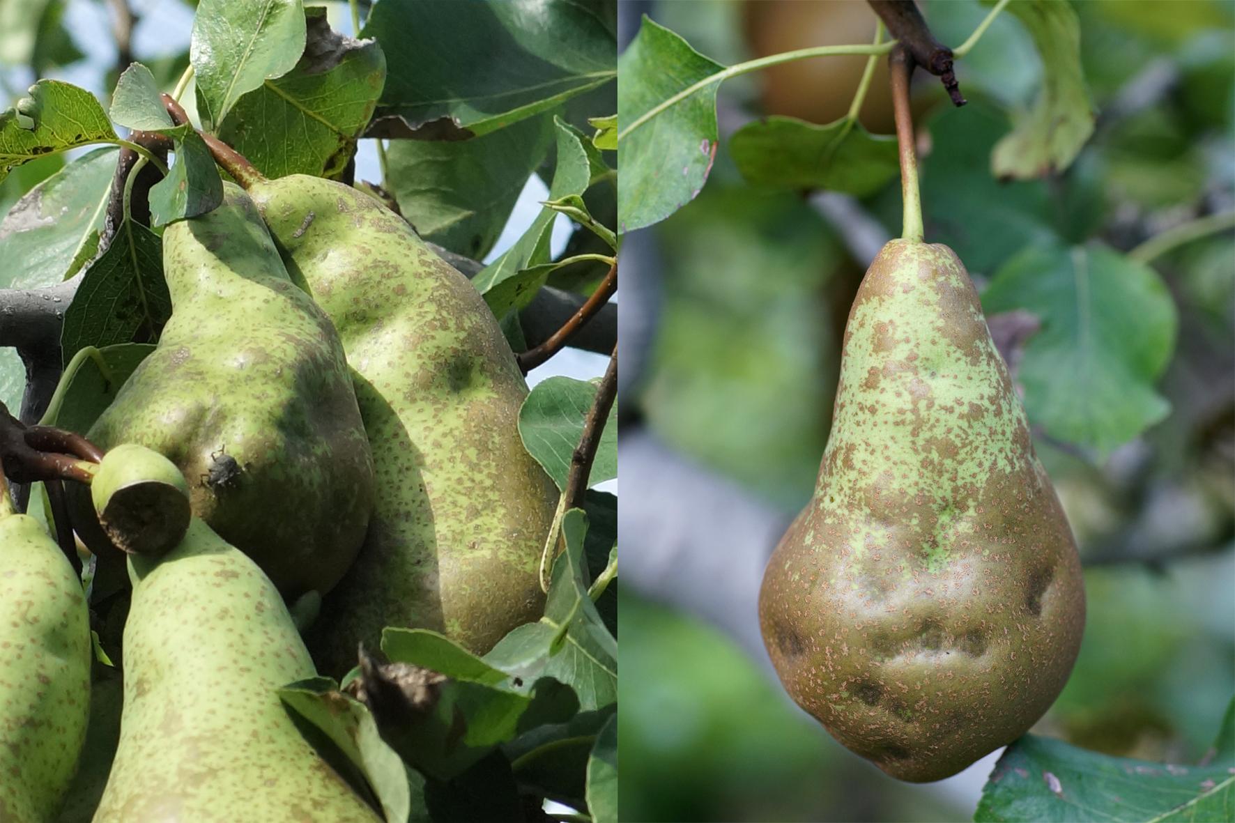 Von Marmorierten Baumwanzen  (Halyomorpha halys) befallene Birnen