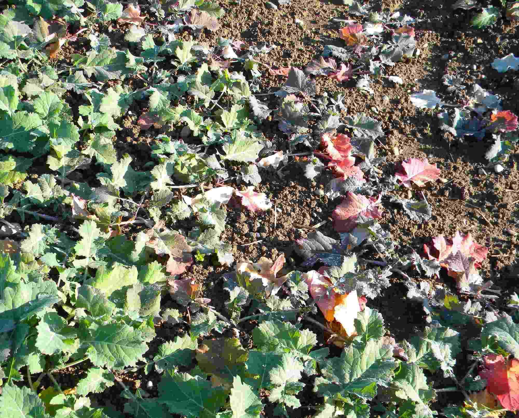 Pflanzenschutz aktuell Raps Wasserrübenvergilbungsvirus