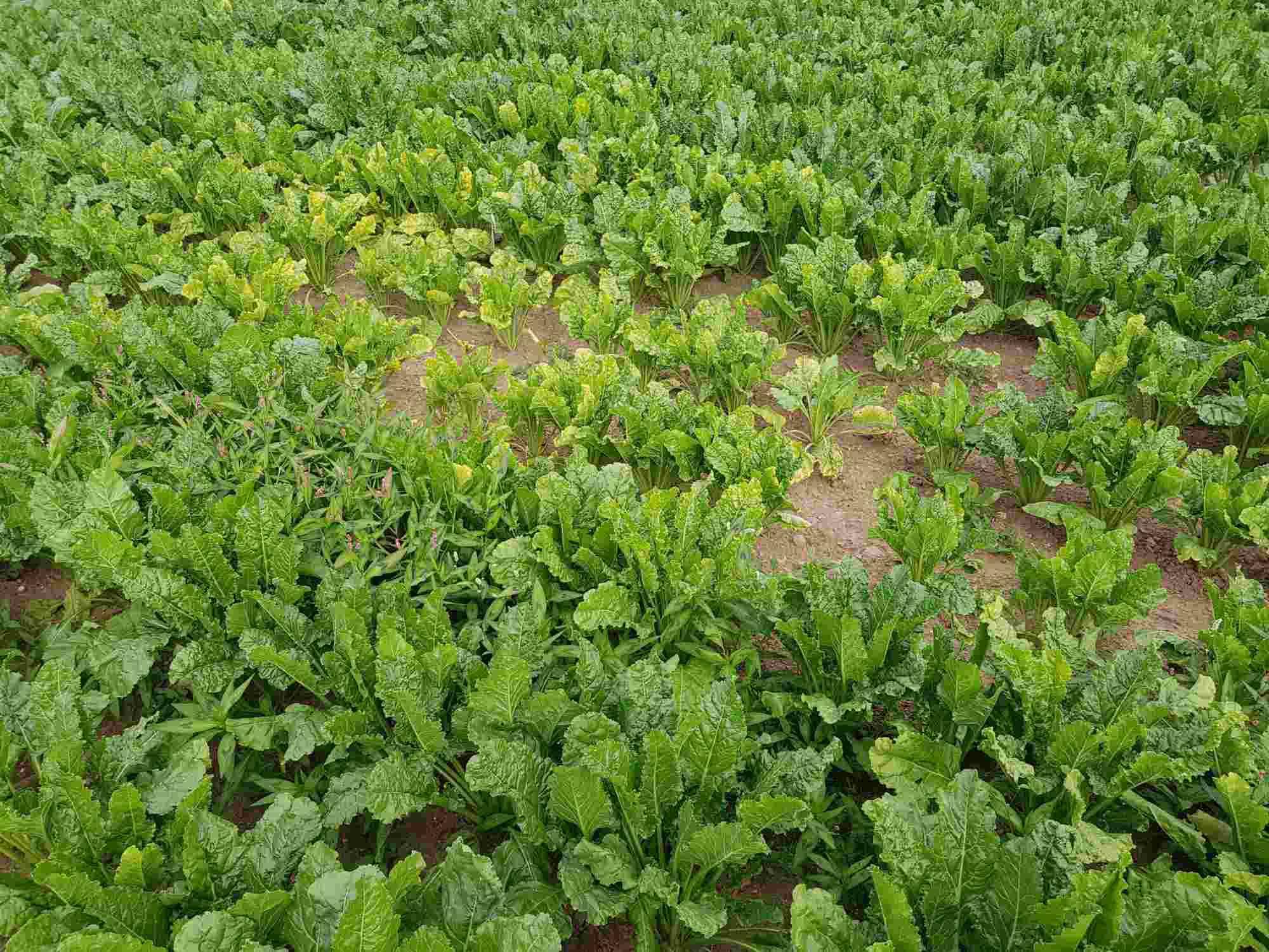 Pflanzenschutz aktuell Viröse Vergilbung Zuckerrüben