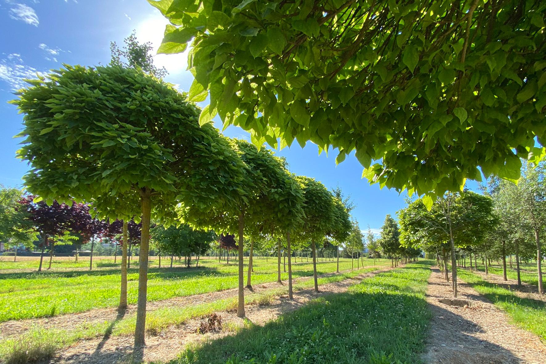 Trompetenbaum (Catalpa bignonioides nana)