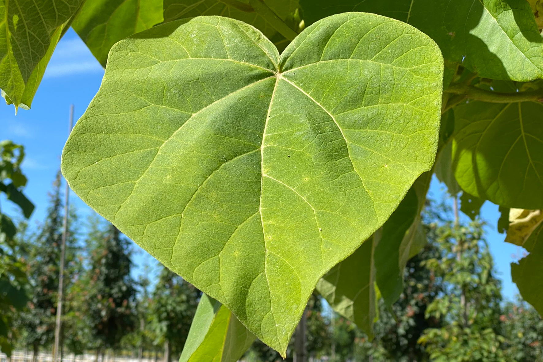 Blauglockenbaum (Paulownia tomentosa), Blatt